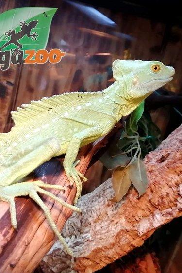 Magazoo Basilic Vert Mâle Adoption - 2ième chance
