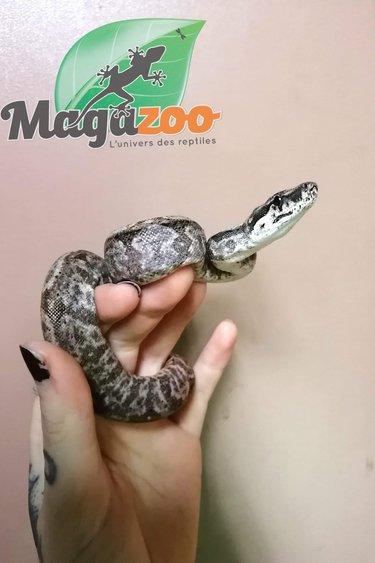 Magazoo Boa constricteur Hypo Nicaragua (100% het. SK T+ Albino)