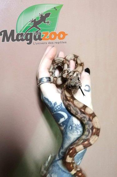 Magazoo Boa constricteur Hog Island
