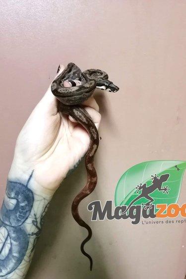 Magazoo Boa constricteur Hypo Motley Nicaragua (100% Het. SK T+ Albino)