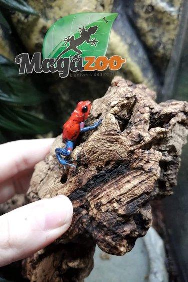 Magazoo Grenouille poison ''Strawberry''/Oophaga pumilio