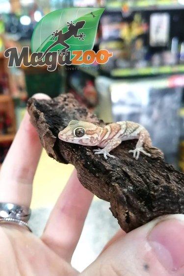 Magazoo Gecko panthere ( pictus) albino