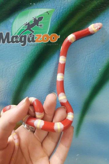 Magazoo Serpent Laitier Albino Nelson Bébé Femelle