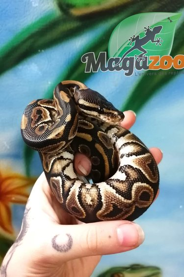 Magazoo Python Royal Black Pastel (66% Het Clown) Femelle Bébé