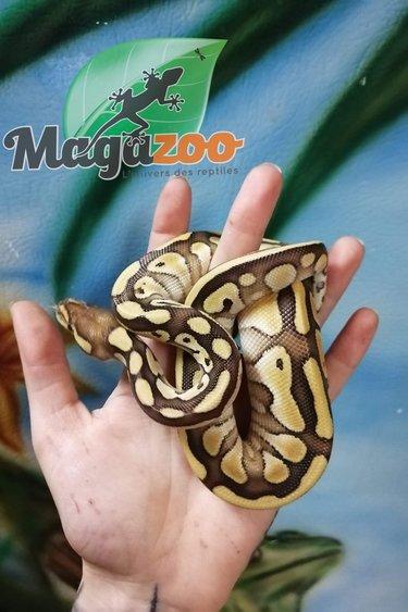 Magazoo Python Royal Butter (66% Het Clown) Femelle Bébé