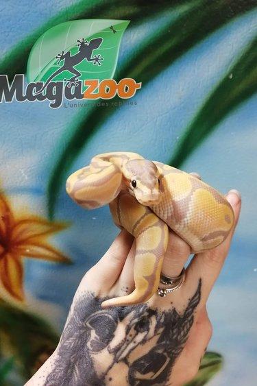 Magazoo Python Royal Banana Het Clown Femelle Bébé