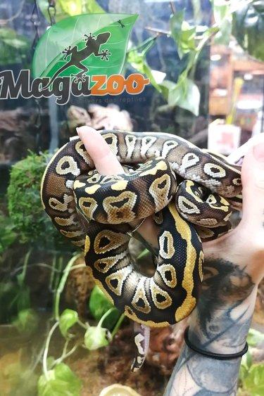 Magazoo Python Royal Mojave bébé Mâle