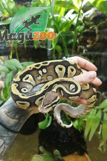 Magazoo Python royal Vanille Mojave bébé mâle