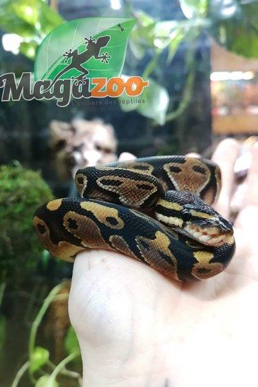 Magazoo Python Royal Régulier bébé femelle