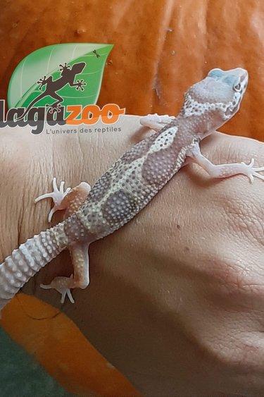 Magazoo Gecko léopard Albino Jungle Enigma (Bébé)