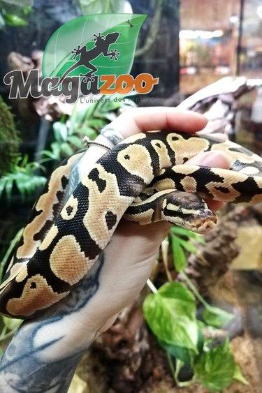 Magazoo Python Royal Pastel Het Clown Bébé Mâle