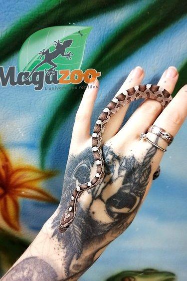 Magazoo Serpent des Blés Anery Bébé Femelle