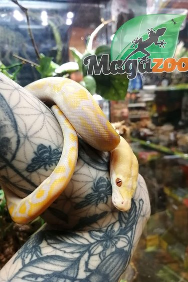 Magazoo Python réticulé  (Super Dwarf )Purple Albino Het. Super Tiger femelle