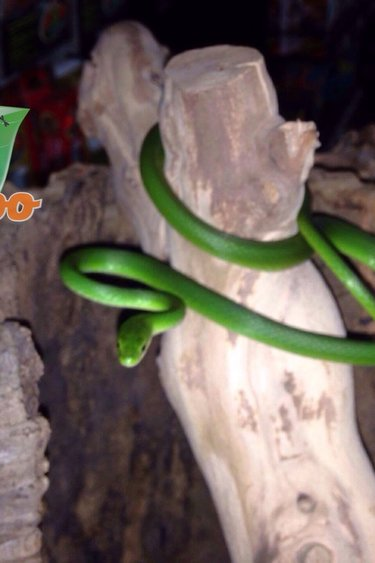 Magazoo Serpent vert de Floride