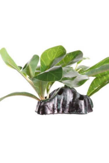 Fluval Anubias naine Fluval, petite, 15 cm (6 po), avec base