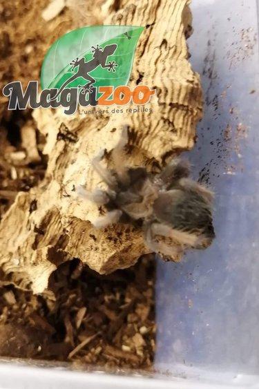 Magazoo Mygale mexicaine à jambes rouges (1'')/Brachypelma emilia  bébé