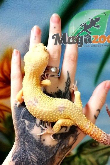 Magazoo Gecko Léopard Bell Sunglow Mâle (un an)