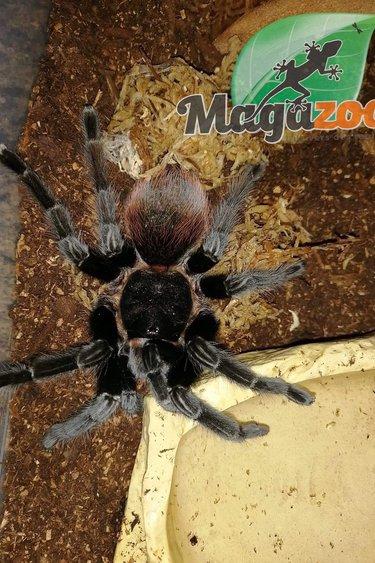 Magazoo Mygale red rump (Femelle 4.5'') / Tliltocatl vagans