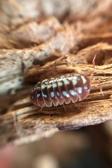 Magazoo Culture de Cloporte Isopod/Dubrovnihigh Red
