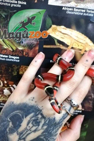 Magazoo Serpent Laitier du Sinaloan Mâle Bébé