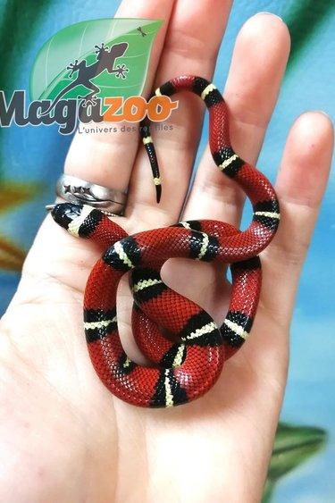 Magazoo Serpent laitier de Sinaloan femelle bébé