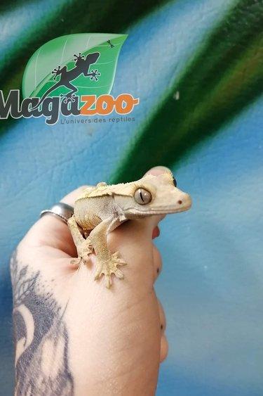 Magazoo Gecko à crête harlequin bébé
