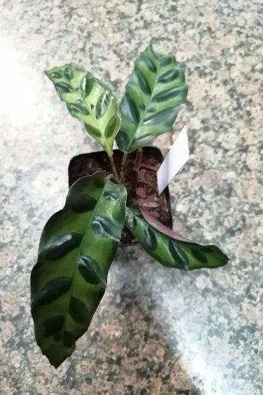 Magazoo Calathea lancifolia