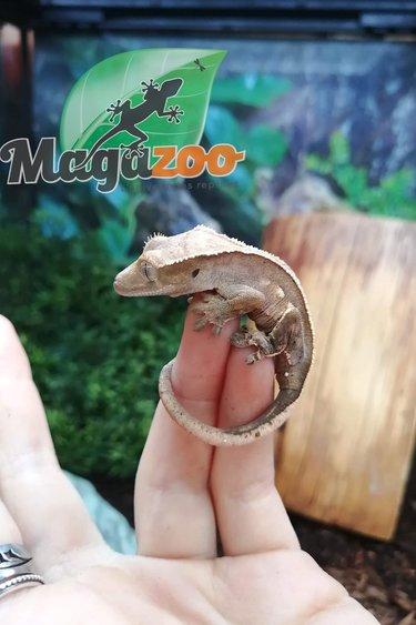 Magazoo Gecko à Crête  Extrême Arlequin Pinstripe Bébé