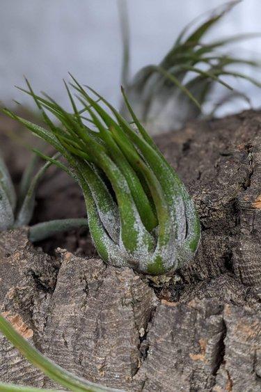 Magazoo Tillandsia Ionantha scaposa (air plante)