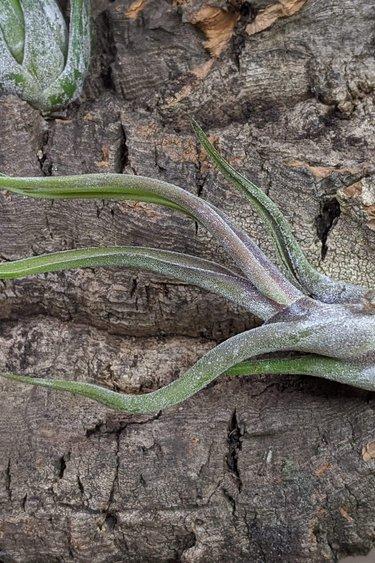 Magazoo Tillandsia Caput medusae (air plante)
