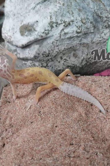 Magazoo Gecko léopard Lemon leucistique (Bébé 2)