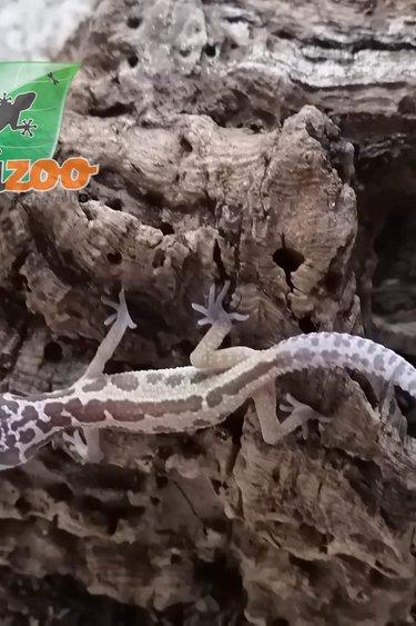 Magazoo Gecko léopard Murphy patternless (Bébé 2)