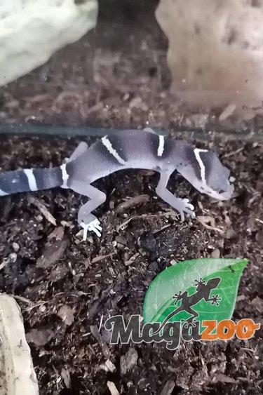 Magazoo Gecko Chinois des Cavernes (Bébé 1)