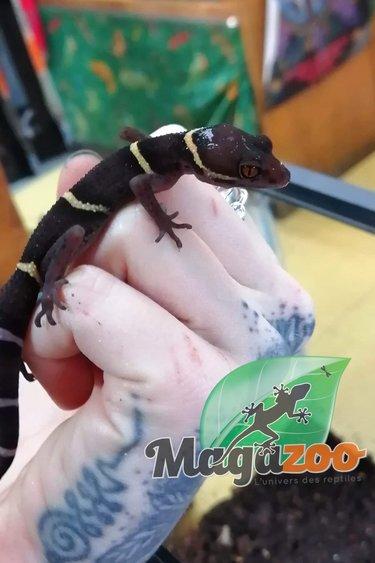 Magazoo Gecko Chinois des Cavernes (Bébé 2)