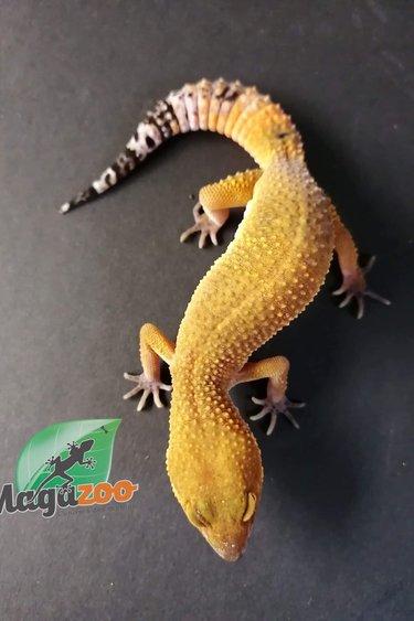 Magazoo Gecko léopard super hypo tangerine carrot tail (tornado) Femelle Juvénile