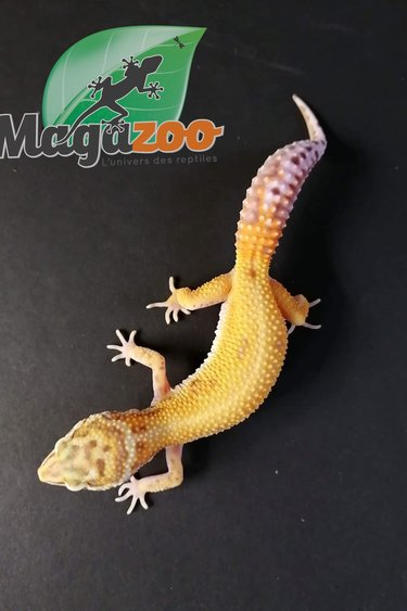 Magazoo Gecko léopard tangerine bell albino Femelle Juvénile