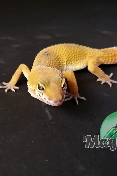 Magazoo Gecko léopard super hypo tangerine carrot tail (tornado) Mâle Juvénile