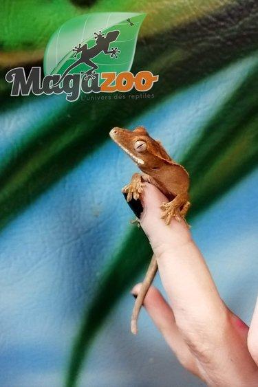 Magazoo Gecko à  Crête Flame Arlequin Bébé