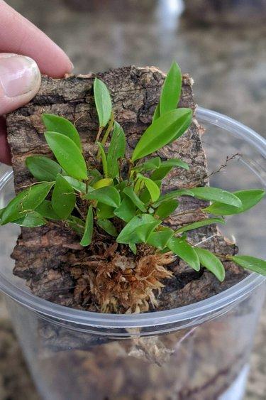 Magazoo Lepanthopsis Astrophora