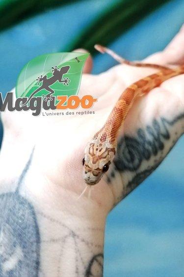 Magazoo Serpent des Blés Sunkissed Het Caramel PH(Hypo Amel) Mâle Bébé
