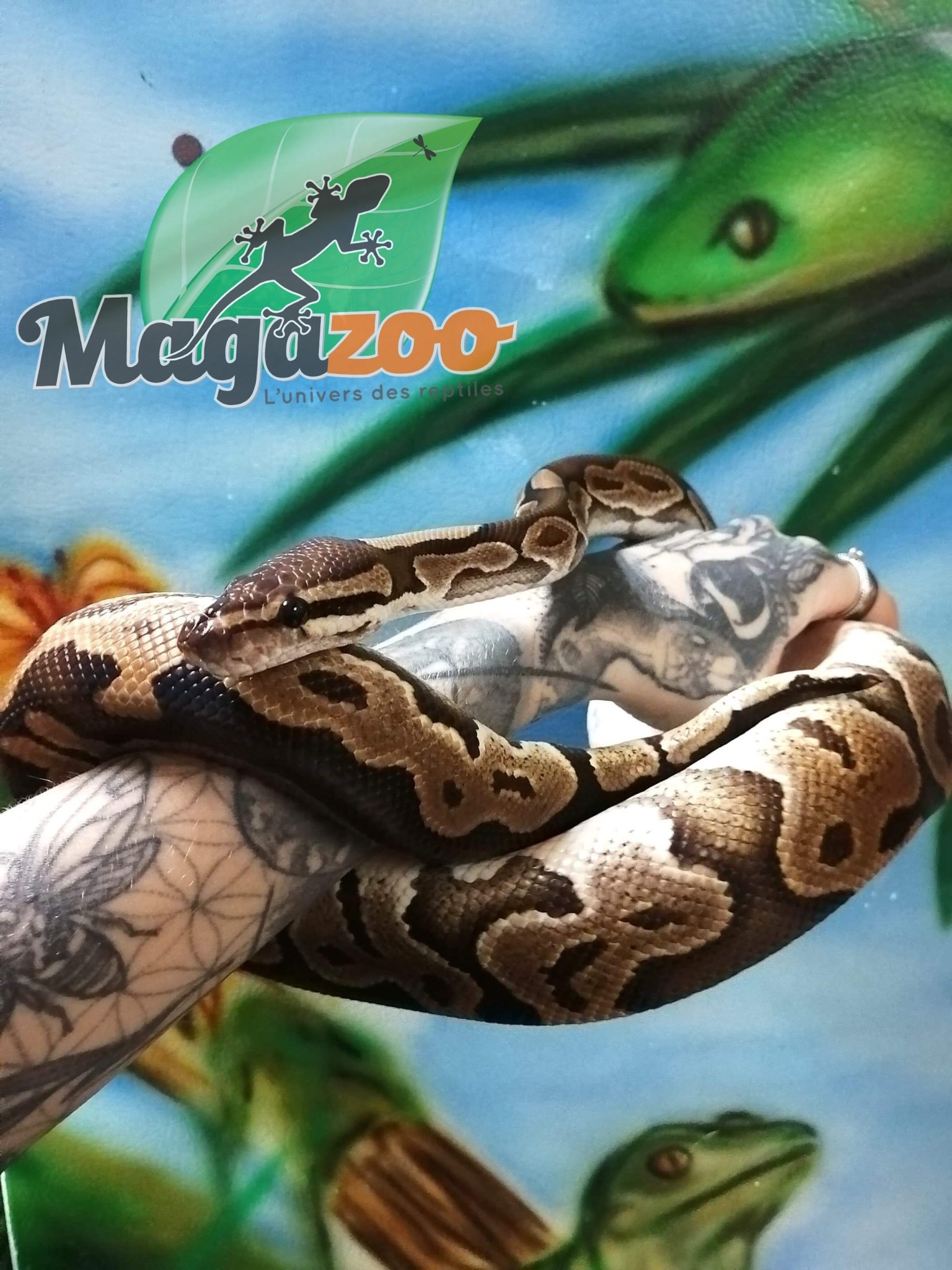 Magazoo Python Royal Black Pastel Blade Mâle Het clown