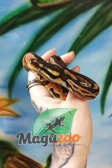 Magazoo Python Royal Black Pastel Enchi 66% Het Albino Het Pied Bébé Femelle