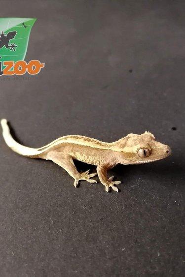 Magazoo Gecko à Crête Reverse Pin Arlequin Bébé
