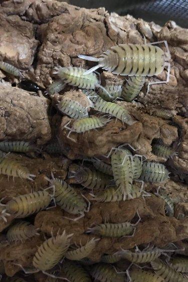 Magazoo Culture  de Cloporte  Isopod P. Bolivari (15)