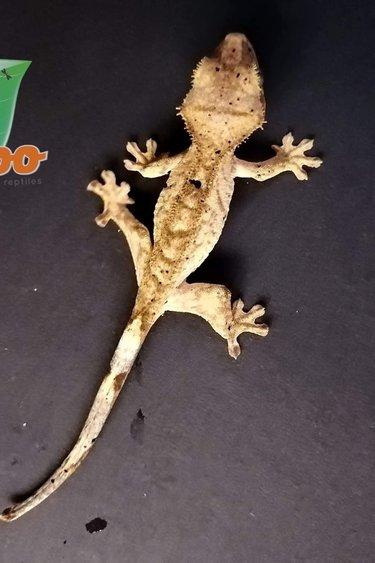 Magazoo Gecko à Crête Super Dalmatien #8 Mâle