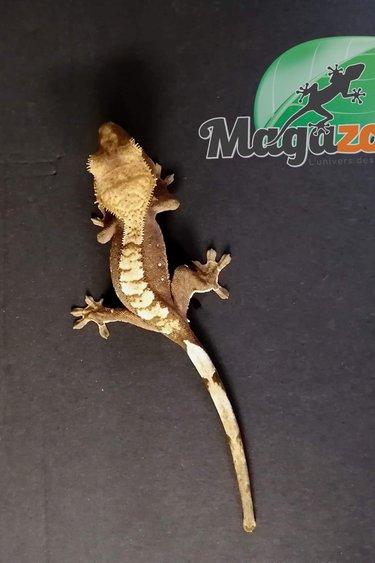 Magazoo Gecko à Crête bébé  flame Choco Crème #2