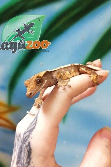 Magazoo Gecko à Crête Choco Creme Harlequin #1 Mâle