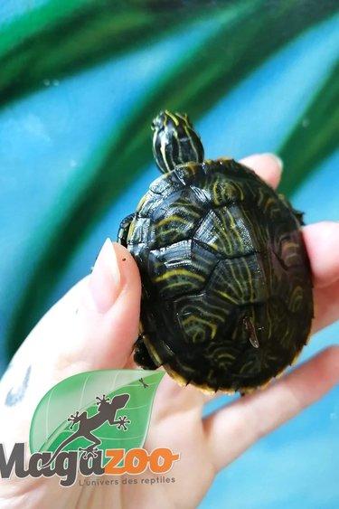 Magazoo Tortue de la Péninsule Cooter turtle