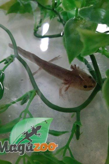 Magazoo Axolotl Mexicain Mélanique Gris