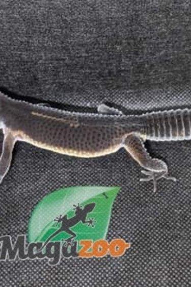 Magazoo Gecko léopard Black Night Mâle